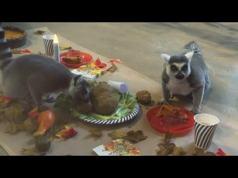 AP: Ring-tailed lemurs enjoy Thanksgiving feast