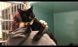 Patrick   Cat for Adoption   Animal Welfare Association   New Jersey Animal Shelter and Clinic