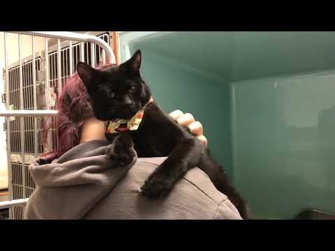 Patrick | Cat for Adoption | Animal Welfare Association | New Jersey Animal Shelter and Clinic