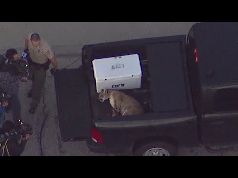 AP: Mountain lion captured in Los Angeles suburb