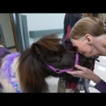 Cupid the Mini Pony is making everyone fall in love – On A Positive Note